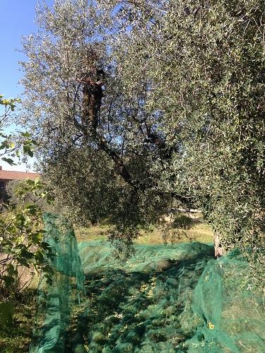 Netten klaar voor de olijvenpluk